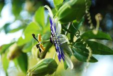 Free Passion Flower Royalty Free Stock Images - 10132989