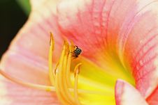 Free Small Bee On Flower Royalty Free Stock Photography - 10133427