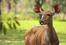 Free Greater Kudu Stock Photography - 10134612