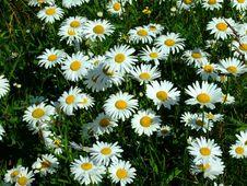 Wild Daisy Macro Royalty Free Stock Images