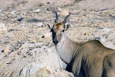 Free An Eland Antelope Royalty Free Stock Image - 10135716