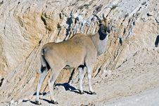 Free An Eland Antelope Stock Image - 10135741