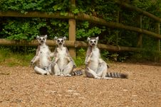 Lemurs Bathing In Sun Stock Photo