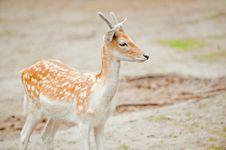 Free Fallow Deer Stock Photos - 10135873
