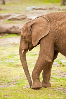 Free Baby Elephant Royalty Free Stock Image - 10135896