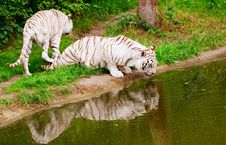 Free White Tigers Royalty Free Stock Images - 10135949