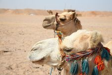 Free Two Camels Stock Image - 10136071
