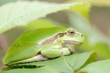 Free Green Tree Frog On A Leaf Royalty Free Stock Photos - 10136438