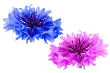 Free Cornflower Stock Images - 10138204