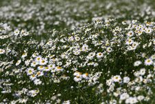 Free White Daisy Flower Texture Royalty Free Stock Images - 10138239