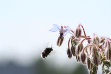 Free Bumblebee Stock Photo - 10139910