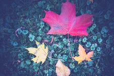 Free Big Red Maple Leaf Stock Photography - 101300092