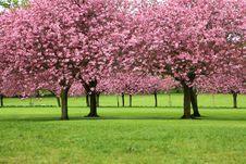 Free Sakura Trees Stock Image - 101317091