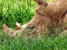 Free Rhinoceros Head Green Grass Royalty Free Stock Photos - 101322098
