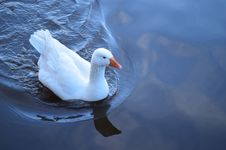 Free Floating Goose Royalty Free Stock Photography - 101373687