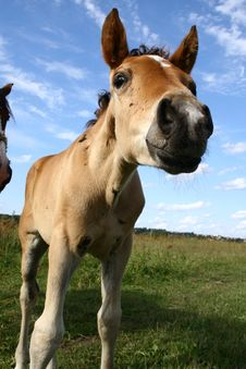 Free Foal Royalty Free Stock Image - 10140246