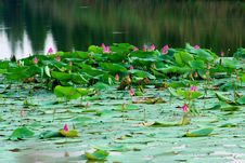 Free Water Lily Royalty Free Stock Photography - 10141457
