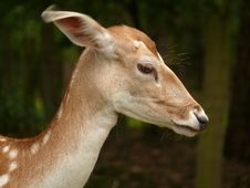Free Roe Deer Portrait Stock Images - 10141704