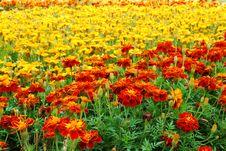 Orange And Yellow Marigolds Royalty Free Stock Photos