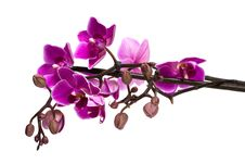 Free Orchid Isolated On White Royalty Free Stock Image - 10142336
