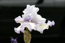 Free Iris Royalty Free Stock Photos - 10142608