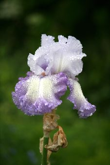 Free Iris After Rain Stock Image - 10142651