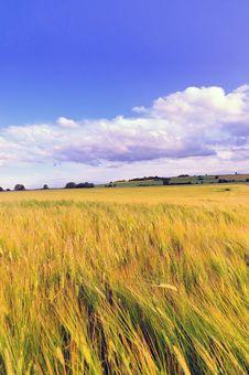 Free Wheat Field Stock Photography - 10143012