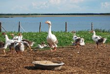 Free Domestic Geese Stock Photos - 10143253