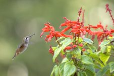 Free Hummingbird Feeds On A Flower. Royalty Free Stock Image - 10143446