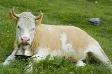 Free Brown And White Cow In Mountain Pasture Stock Images - 10144184