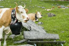 Free Brown And White Cow In Mountain Pasture Stock Photo - 10144200