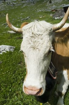 Free Face Of A Brown And White Cow In Mountain Pasture Stock Photo - 10144210