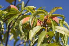 Free Fresh Peach Stock Photo - 10145300