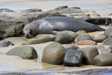 Free Fur Seal Napping Stock Images - 10145354