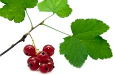 Free Red Currant Royalty Free Stock Image - 10146216