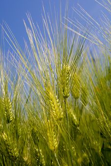 Free Green Rye Over Blue Sky Royalty Free Stock Photography - 10146357