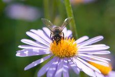 Free Bee Stock Photo - 10146370