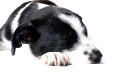 Free Border Collie Puppy Stock Images - 10147004