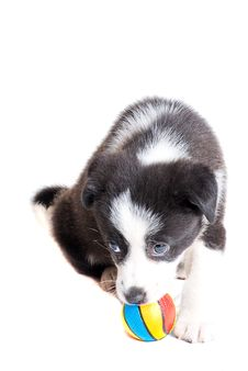 Free Border Collie Puppy Stock Images - 10147024