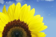 Free Sunflower Royalty Free Stock Photos - 10147198