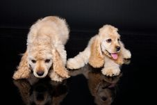 Free Cocker Puppies Royalty Free Stock Photos - 10148908