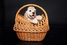 Free Cocker Puppy Royalty Free Stock Photo - 10149295