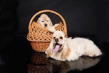 Free Cocker Puppies Royalty Free Stock Photos - 10149668