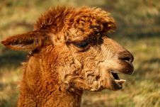 Free Camel Like Mammal, Terrestrial Animal, Llama, Alpaca Royalty Free Stock Photos - 101449528