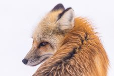 Free Fox, Wildlife, Red Fox, Fur Royalty Free Stock Photos - 101451968