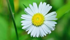 Free Flower, Oxeye Daisy, Chamaemelum Nobile, Daisy Family Stock Photo - 101457180