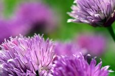 Free Flower, Purple, Chives, Close Up Royalty Free Stock Photo - 101460635