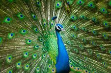 Free Peafowl, Galliformes, Ecosystem, Feather Royalty Free Stock Image - 101468656