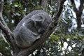 Free Koala 4 Royalty Free Stock Photography - 10154837