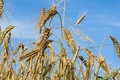 Free Close-up Wheat Ears Royalty Free Stock Photo - 10156745